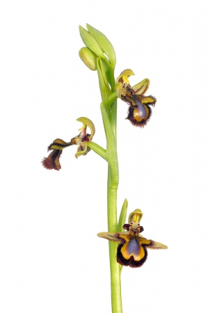 <i>Ophrys speculum.</i>