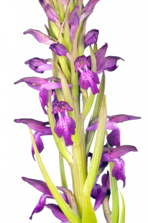 <i>Orchis x albuferensis. </i>