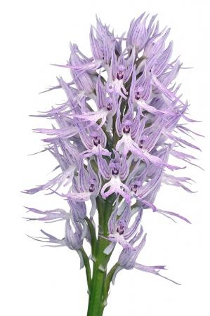 <i>Orchis italica. </i>