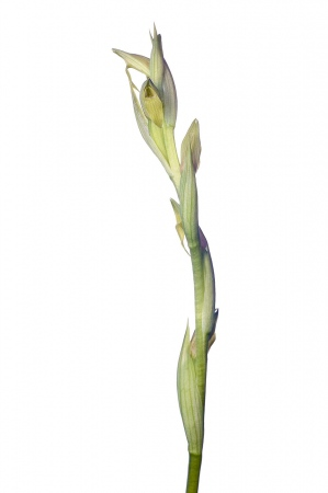 <i>Serapias parviflora </i>(hypochromatic).