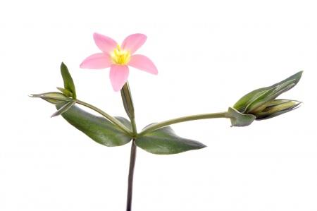 <i>Centaurium bianoris.</i>