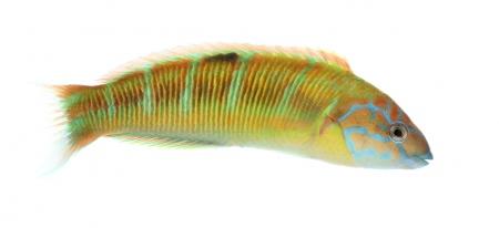 <i>Thalassoma pavo.</i> (Male).