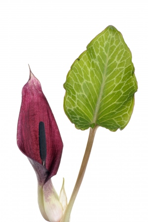 <i>Arum pictum. </i>Lords & ladies.