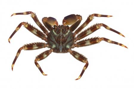 <i>Percnon gibbesi. </i>Nimble sptray crab.