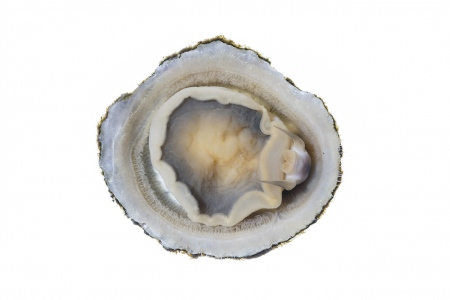 <i>Patella caerulea. </i> Mediterranean limpet. Rayed mediterranean limpet.