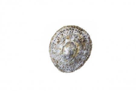 <i>Patella rustica </i> Lusitanian limpet. Rustic Limpet.