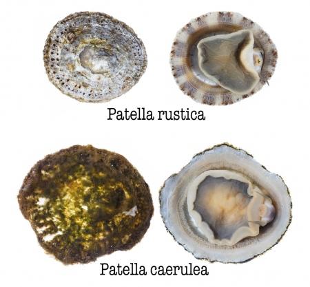 <i>Patella rustica</i> vs <i>Patella caerulea. </i>. Rustic limpet vs Mediterranean limpet.