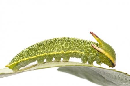 <i>Charaxes jasius.</i> Eruga de papallona de l'arboç.