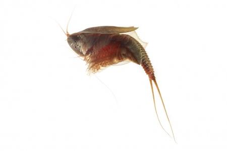 <i>Triops cancriformis </i>