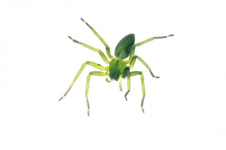 <i>Micrommata virescens.</i>