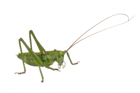 <i>Phaneroptera nana. </i>Nimfa de Cavallet verd.