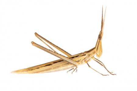 <i>Acrida ungarica mediterranea.</i> Llagost d'alburera.